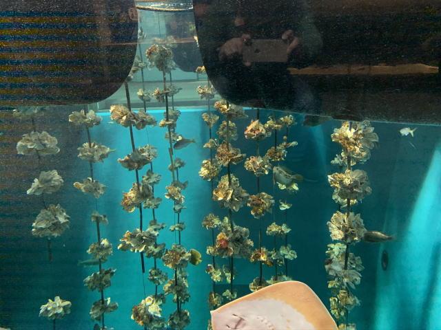 牡蠣の養殖を再現した水槽
